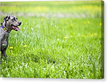Panting Dog Standing In Meadow Canvas Print by Stock4b-rf