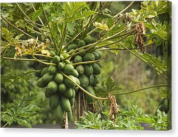 Papaya Fruit Grows On A Tree In Hawaii Canvas Print by Stacy Gold