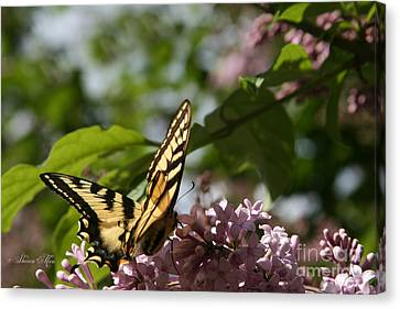 Papilio Glaucus   Eastern Tiger Swallowtail  Canvas Print by Sharon Mau