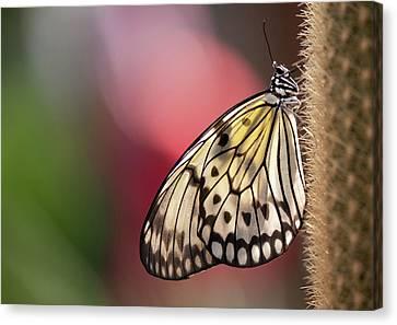 Papillon Canvas Print by Pndtphoto
