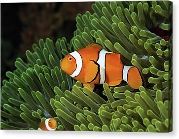 Clown Fish Canvas Print - Papua New Guinea, False Clown Anemonefish And Sea Anemone, Underwater View by Darryl Leniuk