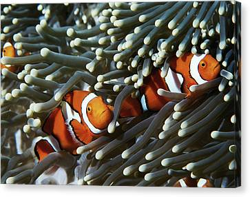 Clown Fish Canvas Print - Papua New Guinea, Two False Clown Anemonefish And Sea Anemone, Underwater View by Darryl Leniuk