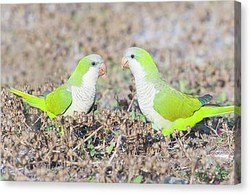 Parakeet Canvas Print by Alex Bramwell