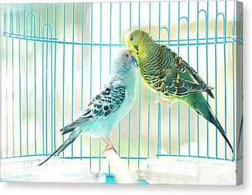 Birdcage Canvas Print - Parakeet Couple Kiss Each Other by Lawren