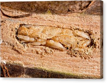 Parasitized Ash Borer Larva Canvas Print by Science Source