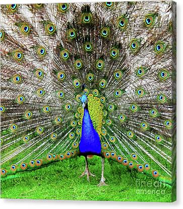 Park Rose Peacock Canvas Print by David  Hollingworth