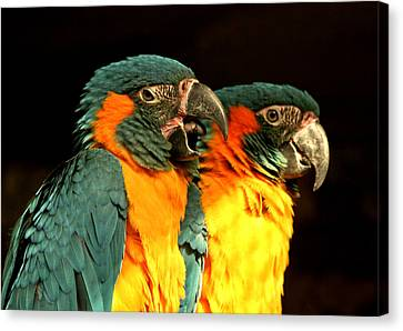 Parrot Canvas Print by Amr Miqdadi