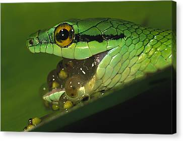 Parrot Snake Eating Tree Frog Eggs Canvas Print by Christian Ziegler