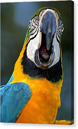 Parrot Squawking Canvas Print by Carolyn Marshall