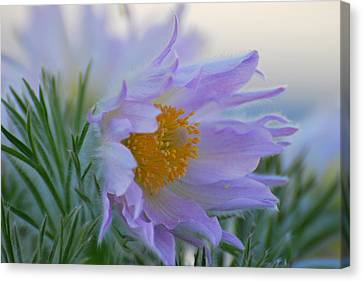 Pasque Flower In The Morning Canvas Print by Anne Gordon