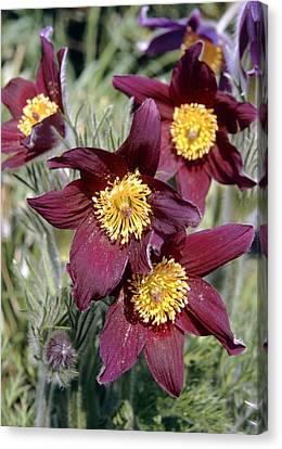 Pulsatilla Vulgaris Canvas Print - Pasque Flower (pulsatilla Vulgaris) by Adrian T Sumner
