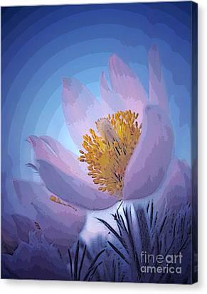 Pasque Flower Canvas Print by Vivian Christopher