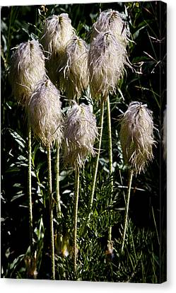 Pasqueflower Seedhead Canvas Print by David Patterson