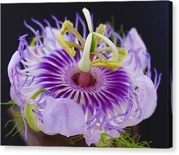 Passion Flora Canvas Print by Juergen Roth