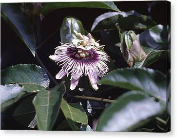 Canvas Print featuring the photograph Passion Flower by Craig Wood