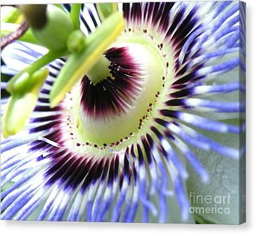 Passion Flower Detail Canvas Print