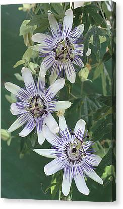 Passion Flowers Canvas Print by Archie Young