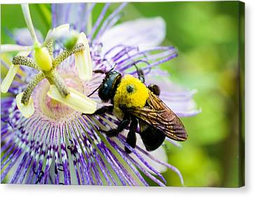 Passion Fruit Flower And Bee Canvas Print by Mike Shaw