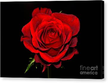 Passion Canvas Print by Pravine Chester