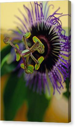 Passionate Flower Canvas Print by Kathy Yates