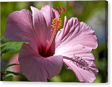 Passionate Pink Canvas Print by Chris Ann Wiggins