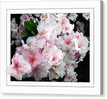 Out Of Frame Canvas Print - Pastel Pink Azaleas by Kaye Menner