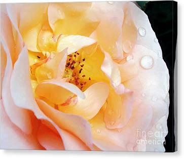 Pastel Rose Canvas Print by Kaye Menner