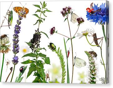 Pastoral Composition Of Insects Canvas Print by Life On White