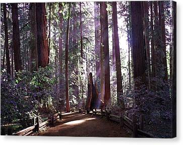 Path By An Ancient Redwood Canvas Print by Laura Iverson