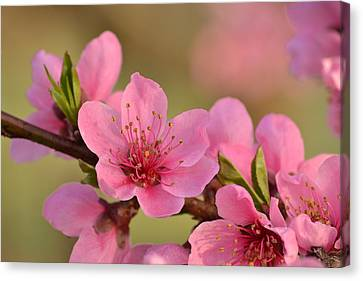 Peach Beautiful Canvas Print