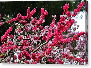 Peach Blossom Canvas Print by Kaye Menner