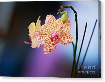 Peach Orchid Canvas Print