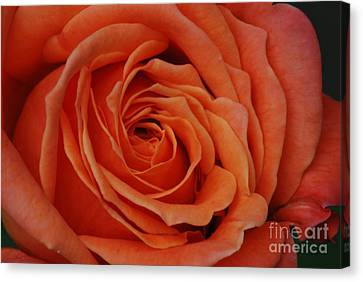 Peach Rose Close-up Canvas Print by Mark McReynolds