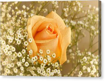 Peach Rose With Baby's Breath Canvas Print by Tracie Kaska