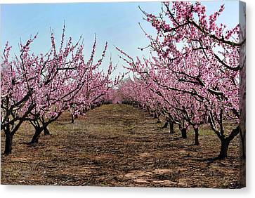 Peaches To Be Canvas Print by Skip Willits