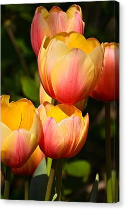 Peachy Tulips Canvas Print by Byron Varvarigos