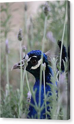 Peacock A Boo Canvas Print by Amy Gallagher