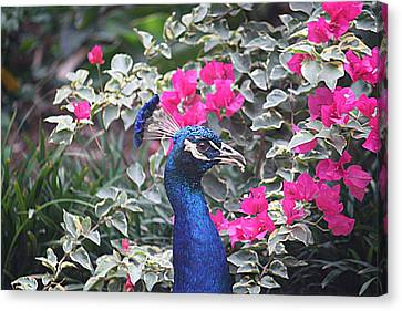 Canvas Print featuring the photograph Peacock And Bouganvillas by Donna Smith