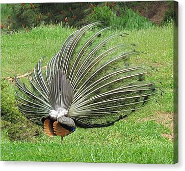 Canvas Print featuring the photograph Peacock Backside by Bonnie Muir