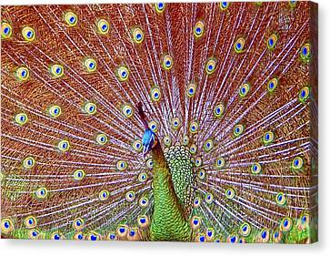 Peacock Bloom Canvas Print by Paul Svensen