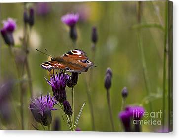 Peacock Butterfly On Knapweed Canvas Print
