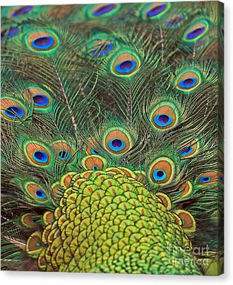 Canvas Print featuring the photograph Peacock  Detail by Larry Nieland
