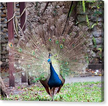 Peacock Display Canvas Print by Kenneth Albin