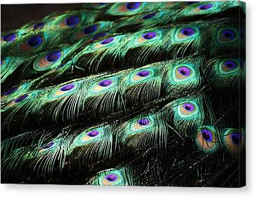 Peacock Feathers Canvas Print by Paulette Thomas