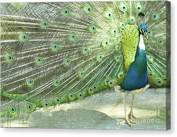 Peacock Canvas Print by Pit Hermann