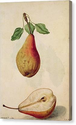 Pear   Pyrus Communis Canvas Print by J le Moyne de Morgues