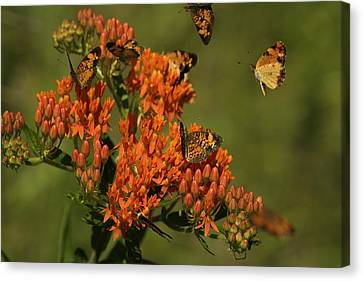 Canvas Print featuring the photograph Pearly Crescentpot Butterflies Landing On Butterfly Milkweed by Daniel Reed