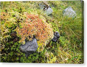 Peat Moss (sphagnum Sp.) Canvas Print by Duncan Shaw