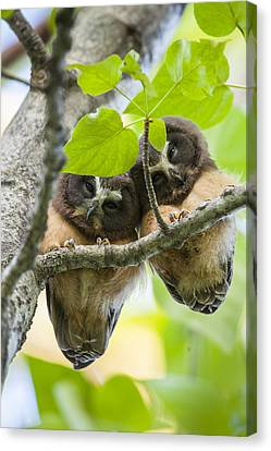 Peek-a-boo Fledglings Canvas Print by Tim Grams