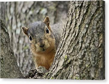 Peek A Boo Squirrel Canvas Print by Rosanne Jordan